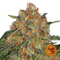 ORANGE SHERBERT 3 Semillas...